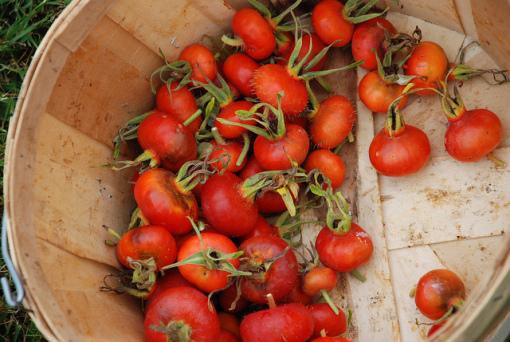 Az egyik leghatékonyabb zsírégető növény: a csipkebogyó