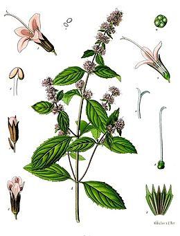 bors-menta-gyogynoveny