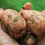 Erre érdemes figyelni, ha krumplit veszel